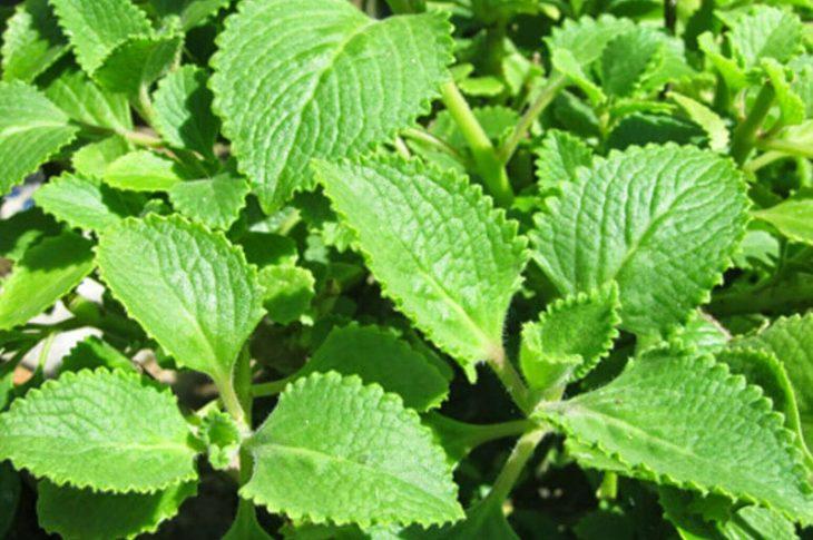 Theo Đông y, cây rau tần có tác dụng chữa bệnh phong ngứa hiệu quả
